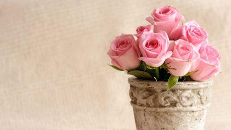 roses, flowers, pot