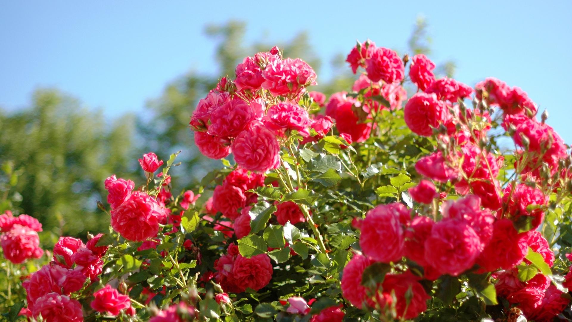 Download Wallpaper 1920x1080 Roses Flowers Shrub Herbs Beauty