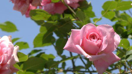 roses, flowers, sky