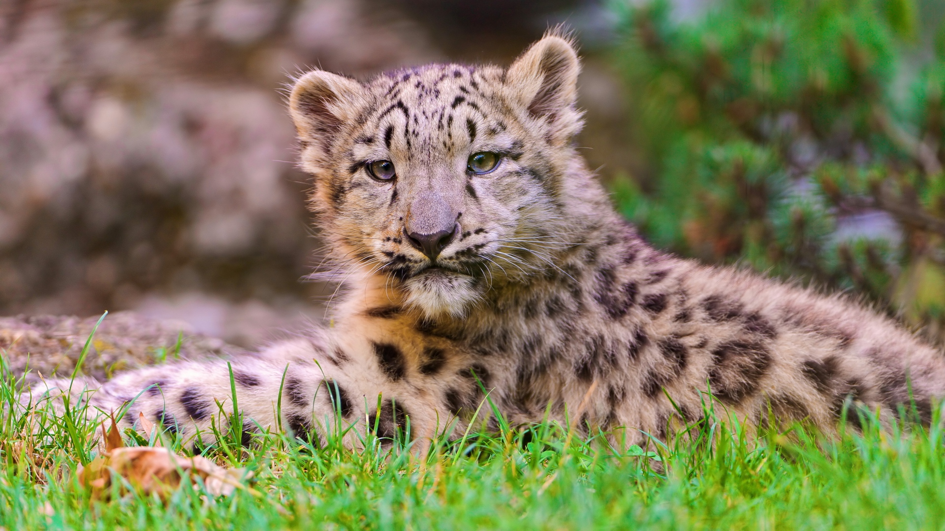 Get The Latest Snow Leopard Cub Grass News Pictures And Videos Learn All About From Wallpapers4uorg Your Wallpaper