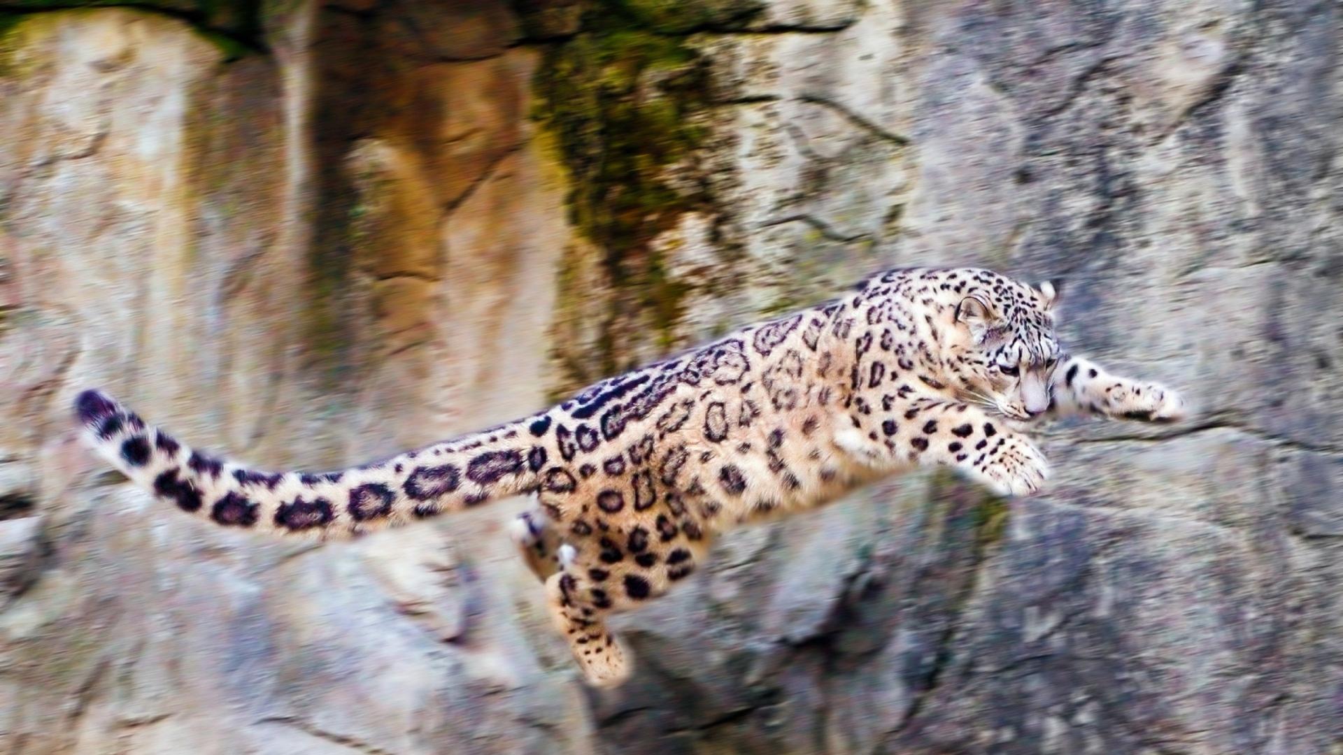 download wallpaper 1920x1080 snow leopard, jump, big cat, rocks full