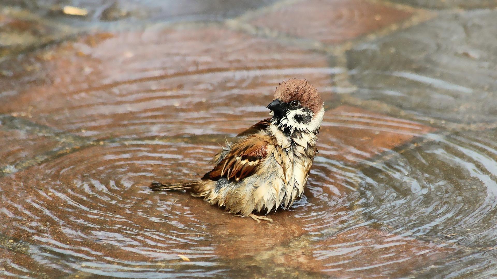 雀の水遊び画像