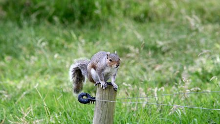 squirrel, climb, fence