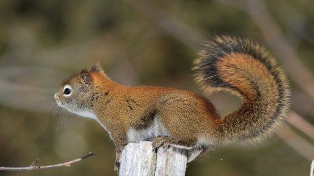squirrel, tail, fur