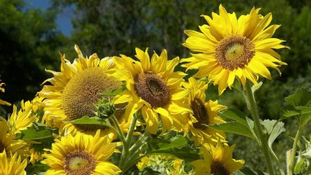 sunflowers, summer, sun