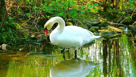 swan, river, grass