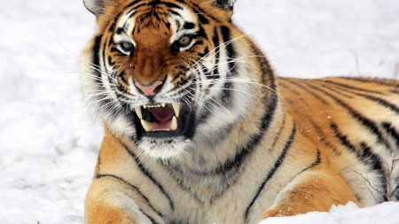 tiger, amur tiger, aggression
