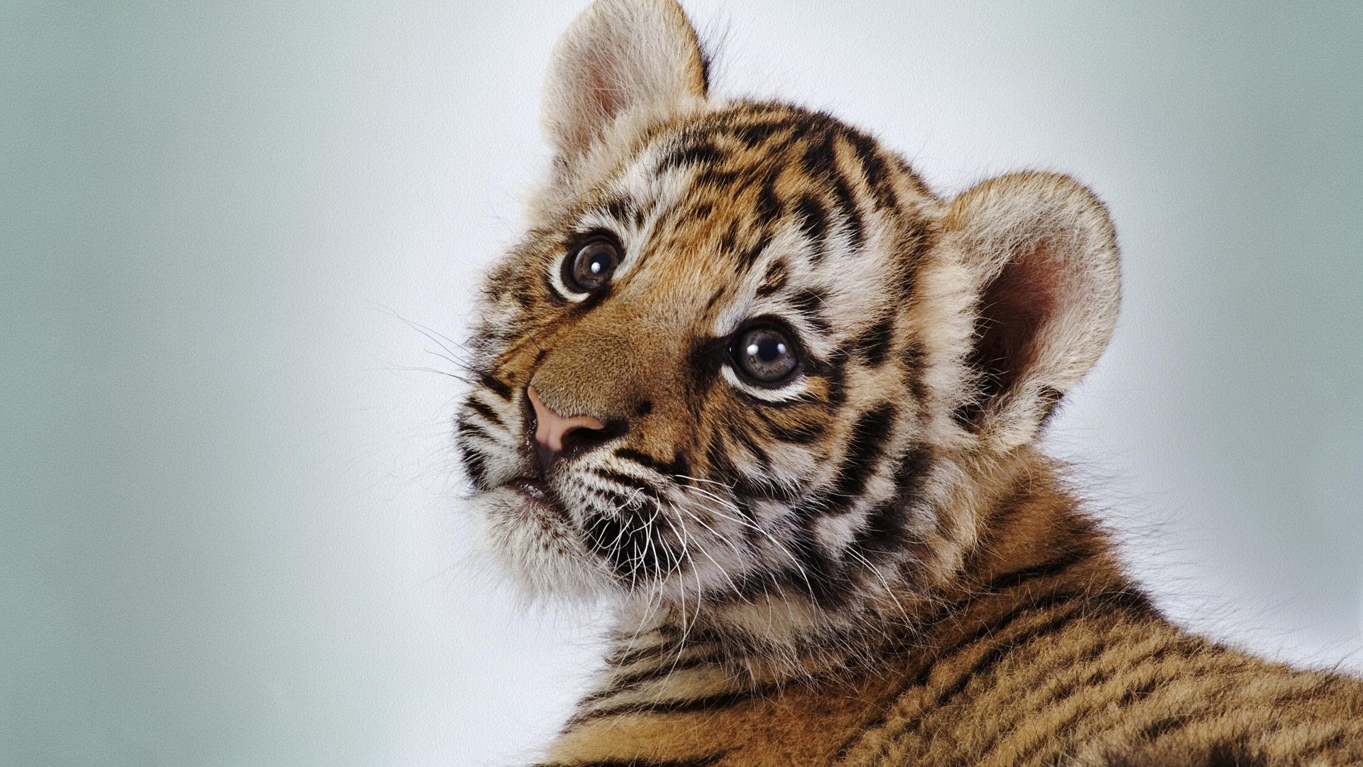 Tiger HD wallpaper | 1920x1080 | #14434