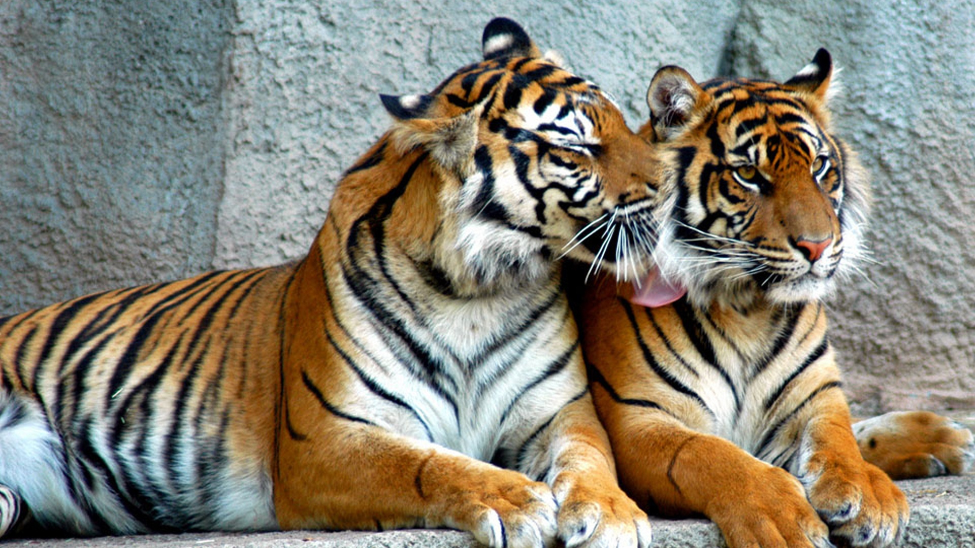 download wallpaper 1920x1080 tiger, couple, predators, striped, big
