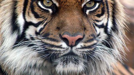 tiger, fur, muzzle