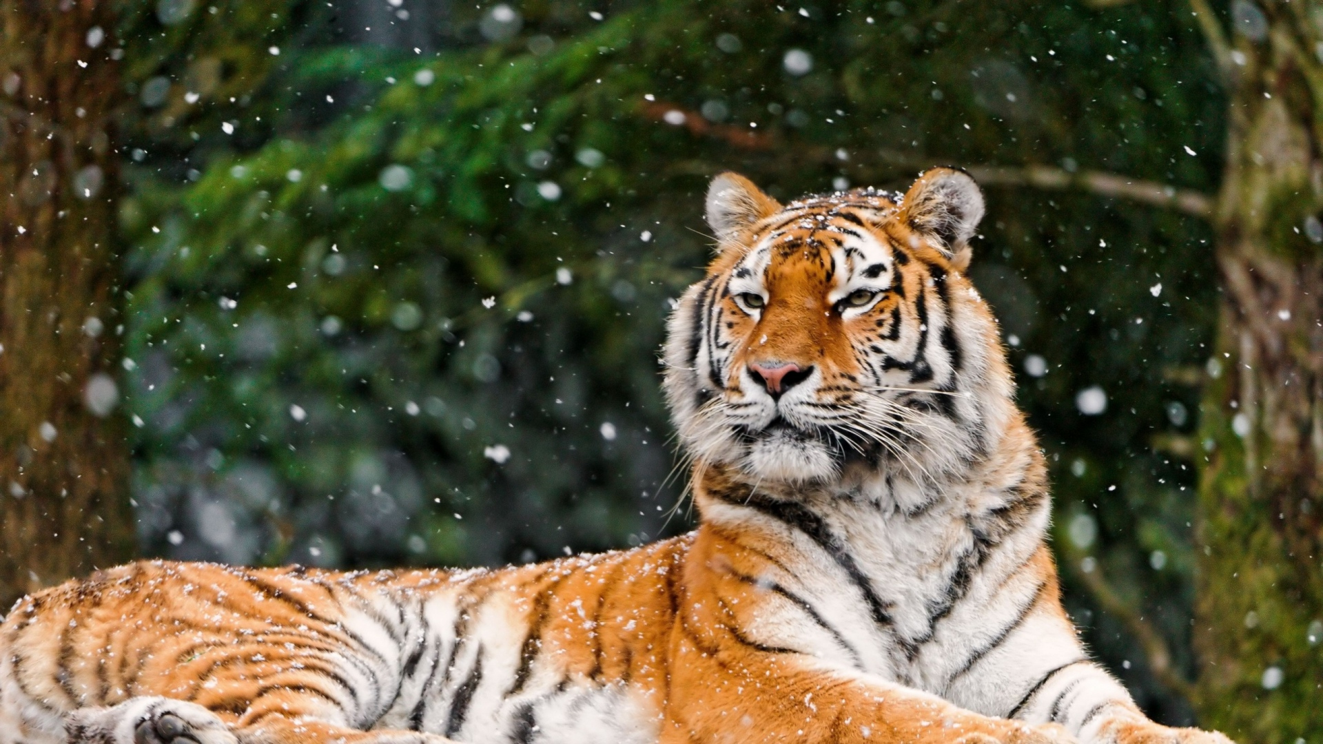 Most Inspiring Wallpaper Mac Tiger - tiger_predator_lying_snow_91748_1920x1080  Picture_257659.jpg