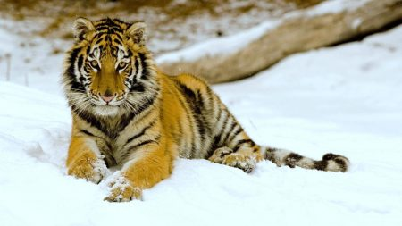 tiger, snow, down