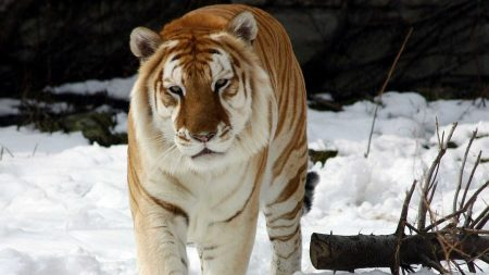 tiger, snow, old