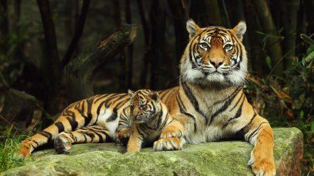 tiger, tiger cub, lying down