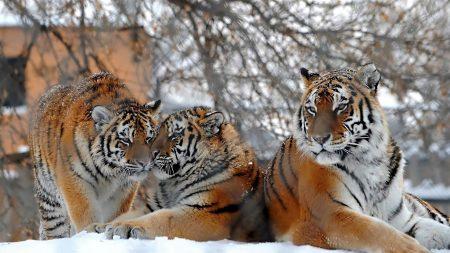 tigers, big cats, snow