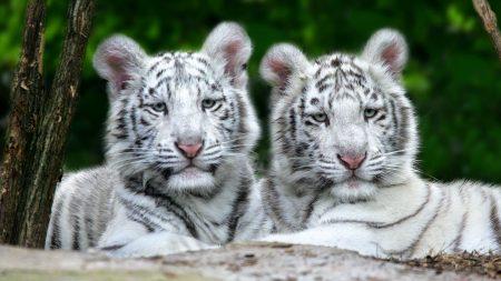 tigers, couple, albino