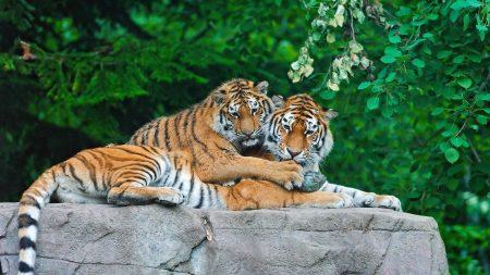 tigers, couple, stone
