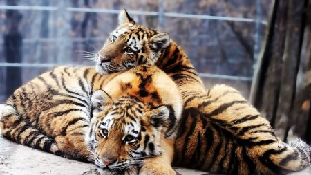 tigers, couple, tenderness
