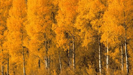 trees, birches, autumn