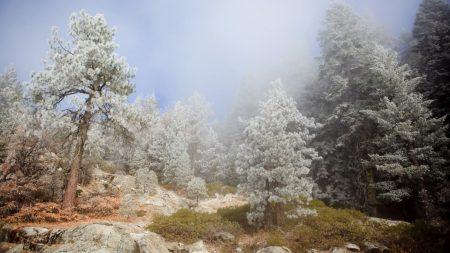 trees, fog, coniferous