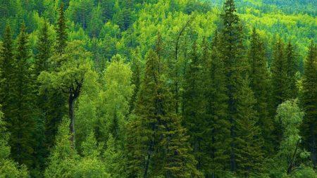 trees, siberia, wood