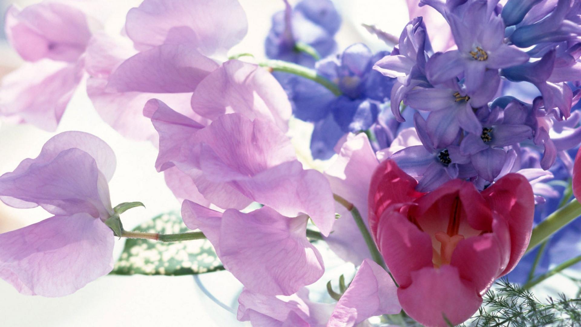 Download Wallpaper 1920x1080 Tulip Flower Song Pialat Close Up