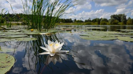 water-lily, lake, reflection