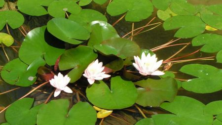 water lilies, leaves, water