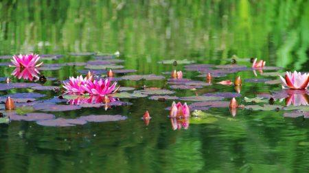 water lilies, water, herbs