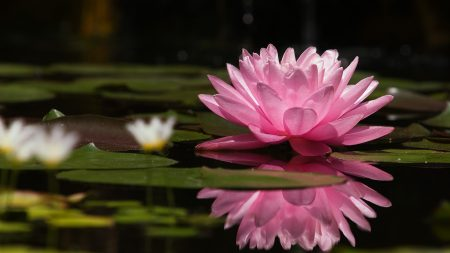 water lily, water, reflection
