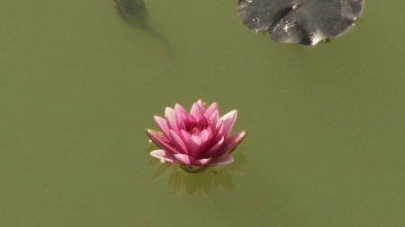 water lily, water, swamp