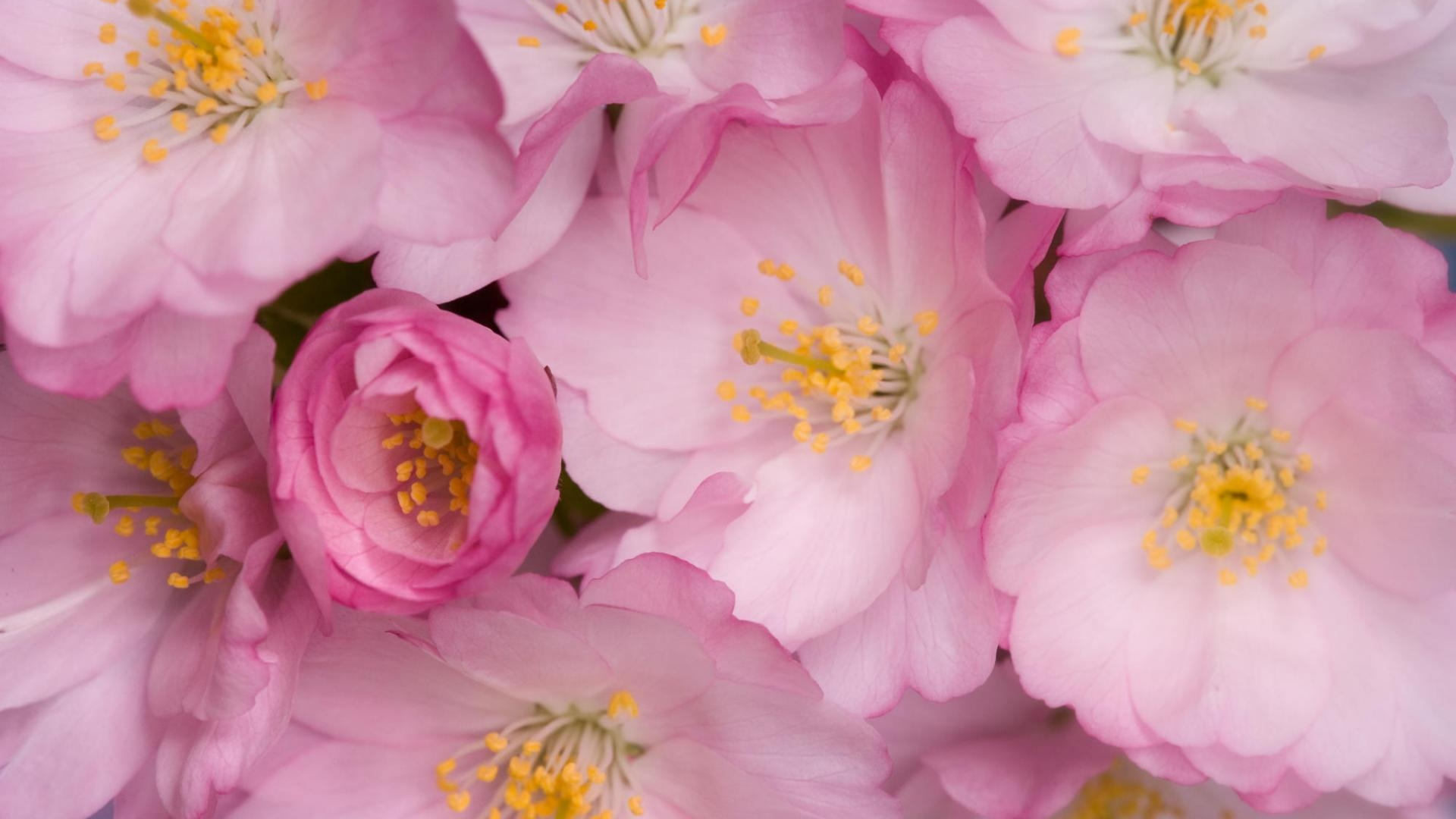 Download Wallpaper 1920x1080 Wild Roses Flowers Pink Yellow Full
