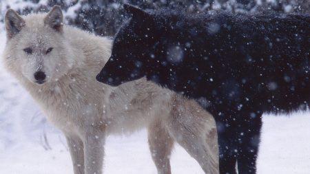wolves, pair, predator