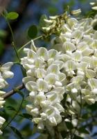 acacia, snow-white, branch