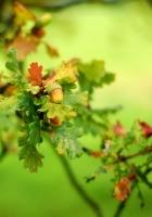 acorn, leaves, green