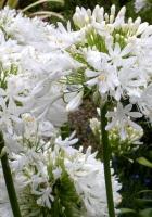 agapanthus, flowers, white