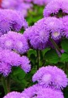 ageratum, flowers, fluffy