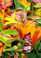 alstroemeria, flowers, bright