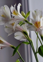 alstroemeria, flowers, stems