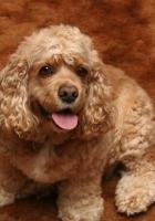american cocker spaniel, dog, curly