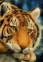 amur tiger, eyes, lie down