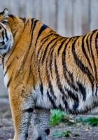 amur tiger, old, fat