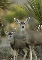 antelope, couple, desert
