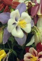 aquilegia, flowers, bright