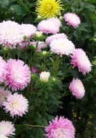 aster, flowers, lot