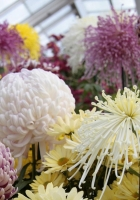 asters, chrysanthemums, balloons