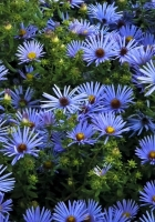 asters, flowerbed, much