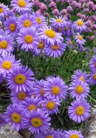asters, flowers, stone