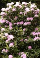azalea, bush, park