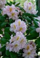 azalea, bush, pink